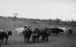 The cattle herd on the McCullough Farm