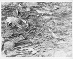 Adult Brown Trout released into Bridgeland River, 1984