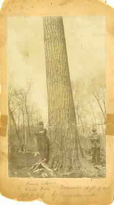 Pine tree on the Enoch Erb farm
