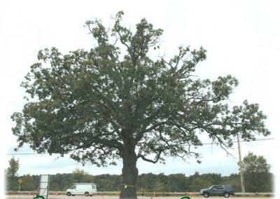Oakville's Oak Tree. Courtesy of the Oakville Beaver