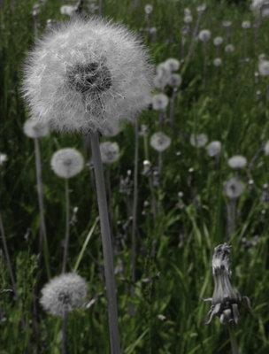 Dandelion in White