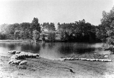Sheep grazing by Patterson pond
