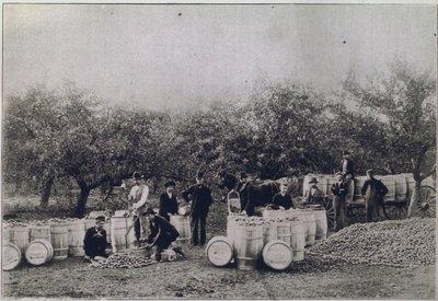 Apple Harvesting on the Pay Farm