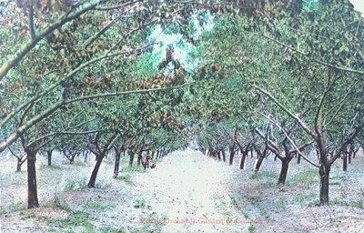 A Peach Orchard, Niagara Peninsula