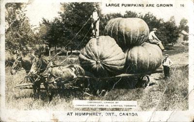 Large Pumpkins are grown at Humphrey, ONT., Canada