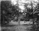 Glade in school woods, ca.1890's.  Cavendish, P.E.I.