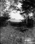 Old fence under birches in Webb's field, ca.1890's.  Cavendish, P.E.I.