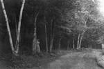 Frede Campbell posed beside tree in lane, ca.1890's.  Park Corner, P.E.I.