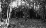 Woods by Old Baptist Church, ca.1890's.  Cavendish, P.E.I.