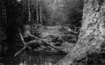 Cavendish woods, ca.1890's.  Cavendish, P.E.I.