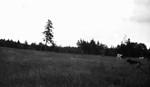 Cows in field on Alec MacNeill's farm, Cavendish, P.E.I.