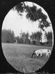 Cows in field, Old home, Cavendish, P.E.I.