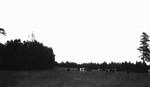 Cows in Alec MacNeill's field, Cavendish, P.E.I.