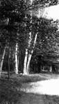 Park Corner birches, Park Corner, P.E.I.