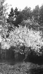Tree, Park Corner, P.E.I.