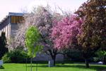 Trees blooming outside of Waterloo Lutheran Seminary, 2004