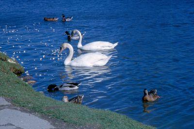 Swans on Silver Lake in Waterloo Park