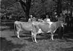 Prize Cattle at Jersey Show, May 29, 1948