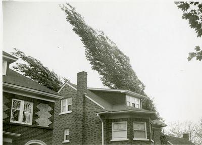 LH2038 Hurricane Hazel – Trees blown over on Connaught Street