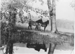 Horses with their shadows, along Shadow River - RF0006