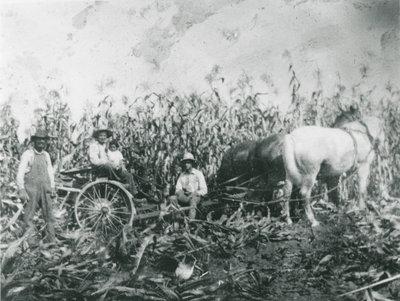 Charlie Chant and Hollis Chant cutting corn c.1945