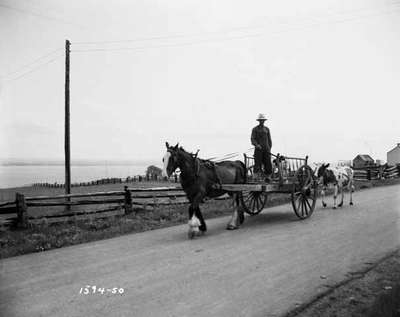 Horse Pulling Man and Calf in a Cart with a Cow Following Behind