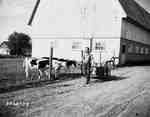Man Walking by Cows with Milk Cans in Wagon